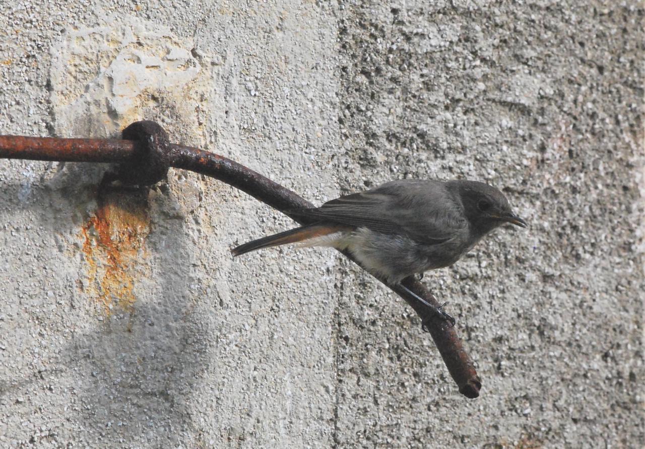 2012cm2 077 r rouge queue for Oiseau queue rouge