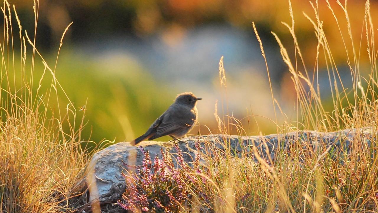 Oiseaux for Oiseau queue rouge